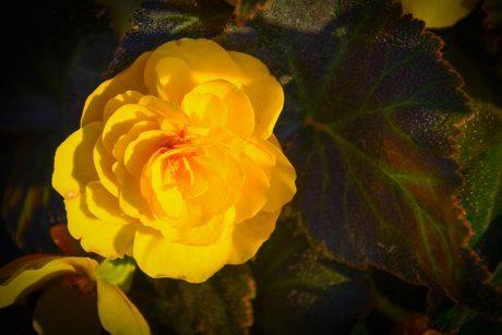 Begonia Yellow