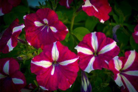 Petunias Bicolor