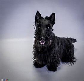 EckFoto Pet Photography Alfie_2 - Scottish Terrier+