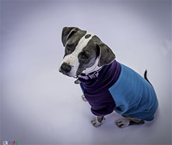 EckFoto Pet Photography Cassidy_2 - Pit Bull Terrier