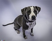 EckFoto Pet Photography Cassidy_3 - Pit Bull Terrier