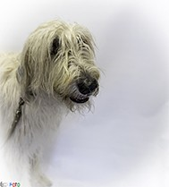 EckFoto Pet Photography Griffin_10 - Wolfehound