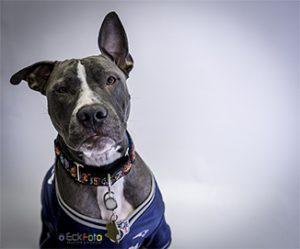EckFoto Pet Photography Kisses - Pit Bull Terrier