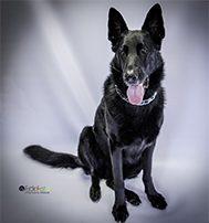 EckFoto Pet Photography; Neely - Black Shephard
