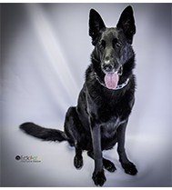 EckFoto Pet Photography Neely_5 - Black Shephard